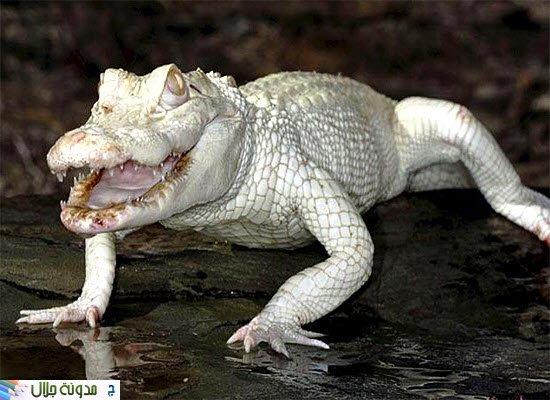 albino+alligator.jpg