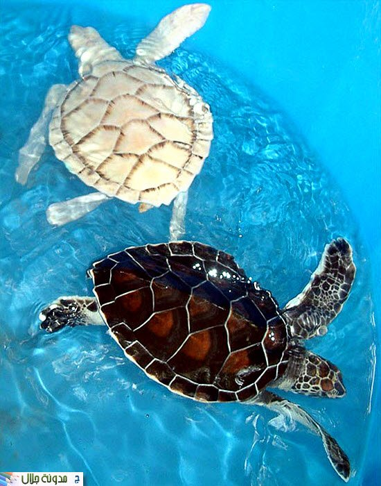 Another+turtle+albino.jpg