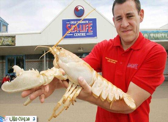 albino+lobster.jpg