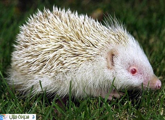albino+hedgehog.jpg