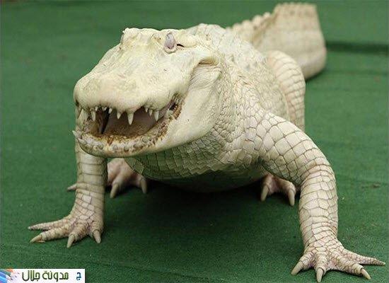 Albino+Alligator-2.jpg