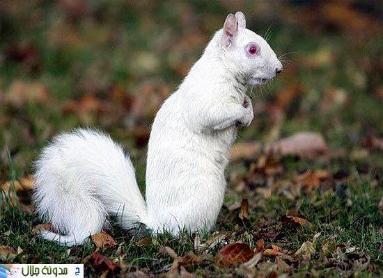albino+squirrel.jpg